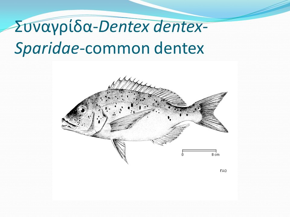 Συναγρίδα-Dentex dentex- Sparidae-common dentex