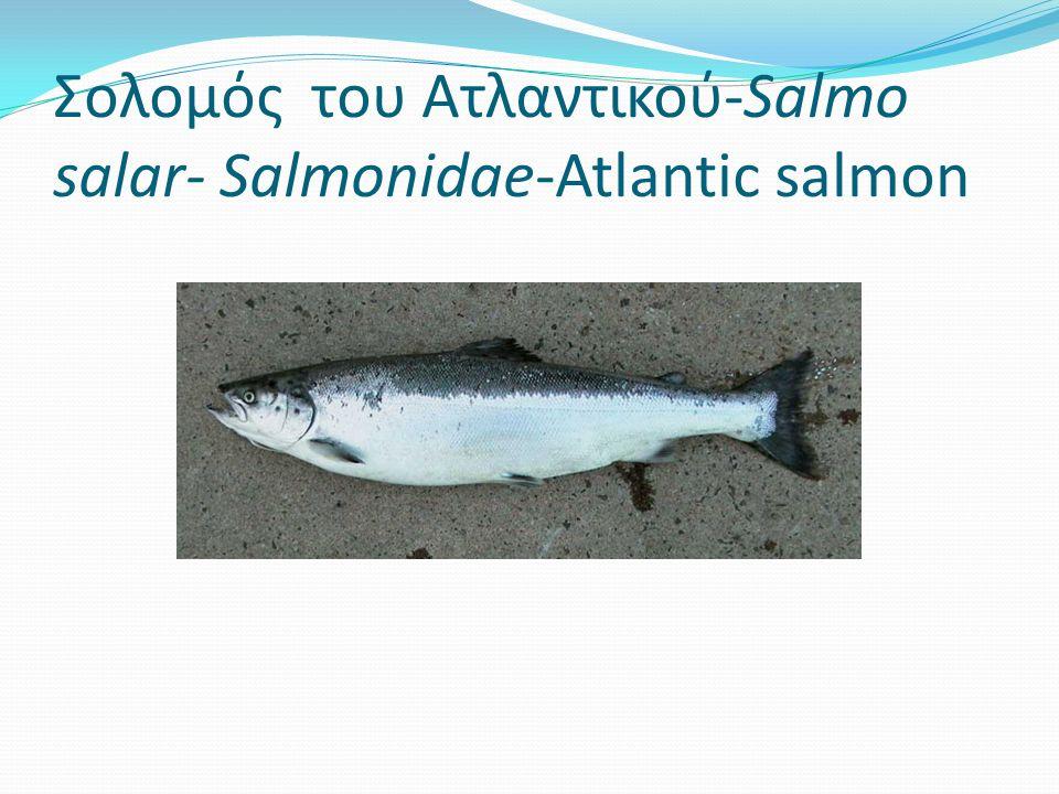 Σολομός του Ατλαντικού-Salmo salar- Salmonidae-Atlantic salmon