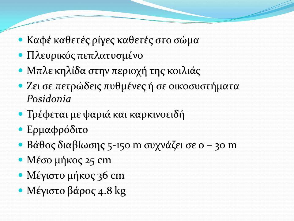 Καφέ καθετές ρίγες καθετές στο σώμα Πλευρικός πεπλατυσμένο Μπλε κηλίδα στην περιοχή της κοιλιάς Ζει σε πετρώδεις πυθμένες ή σε οικοσυστήματα Posidonia Τρέφεται με ψαριά και καρκινοειδή Ερμαφρόδιτο Βάθος διαβίωσης 5-150 m συχνάζει σε 0 – 30 m Μέσο μήκος 25 cm Μέγιστο μήκος 36 cm Μέγιστο βάρος 4.8 kg