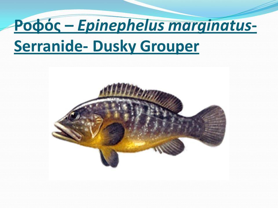 Ροφός – Epinephelus marginatus- Serranide- Dusky Grouper