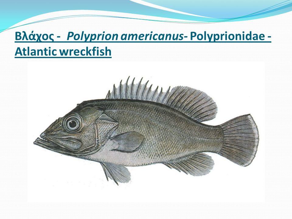 Βλάχος - Polyprion americanus- Polyprionidae - Atlantic wreckfish