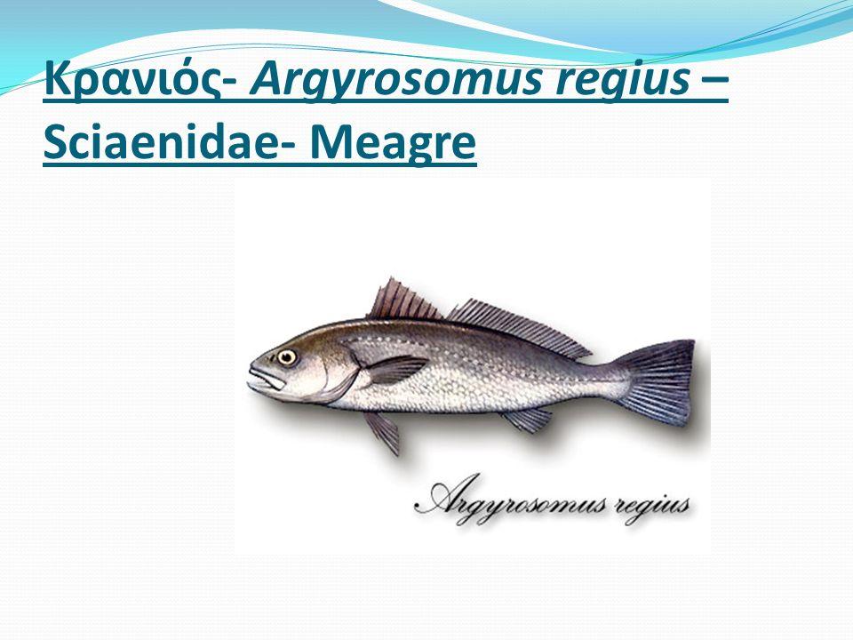 Κρανιός- Argyrosomus regius – Sciaenidae- Μeagre