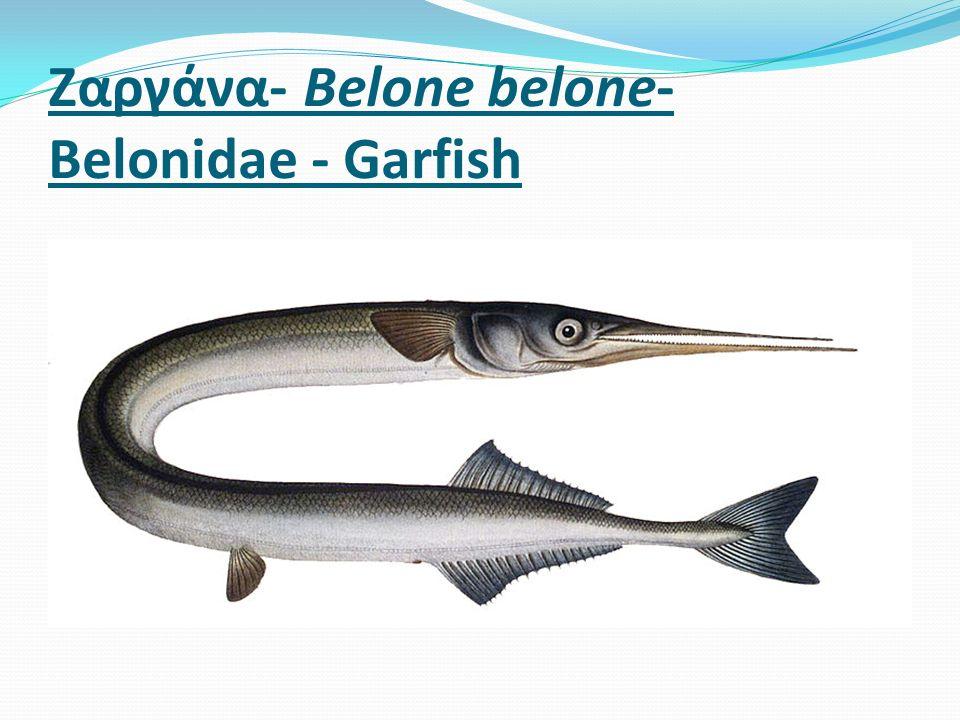 Ζαργάνα- Belone belone- Belonidae - Garfish