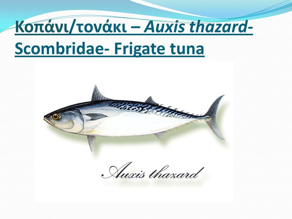Κοπάνι/τονάκι – Auxis thazard- Scombridae- Frigate tuna