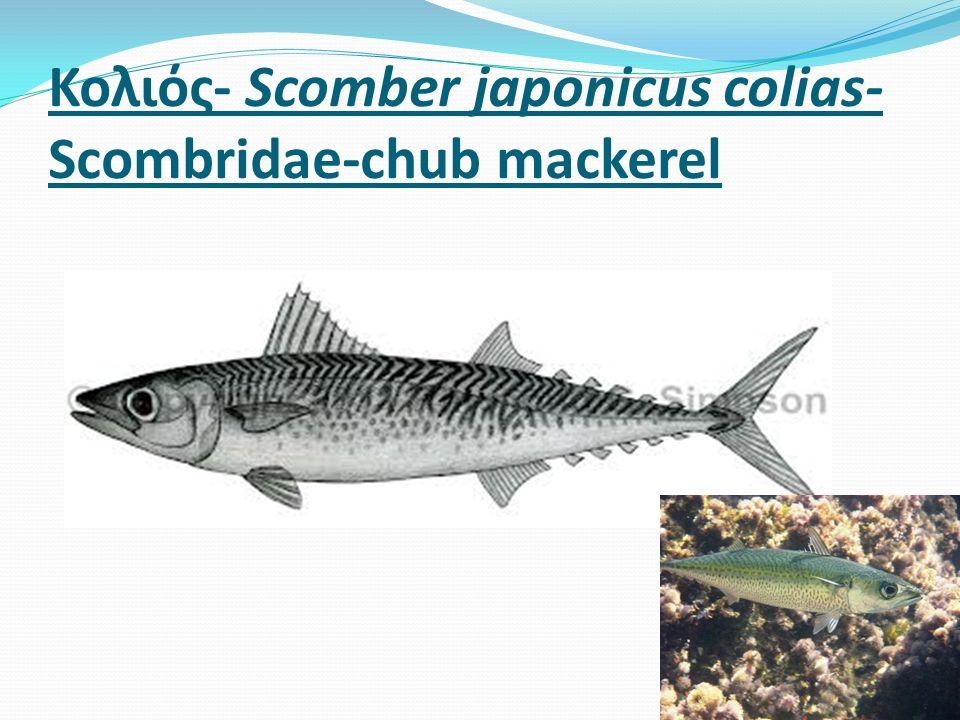 Κολιός- Scomber japonicus colias- Scombridae-chub mackerel