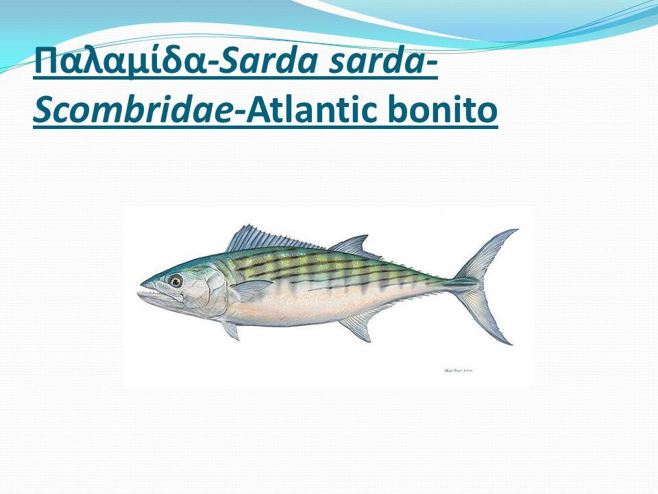 Παλαμίδα-Sarda sarda- Scombridae-Atlantic bonito