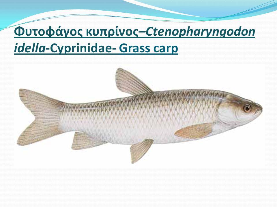 Φυτοφάγος κυπρίνος–Ctenopharyngodon idella-Cyprinidae- Grass carp