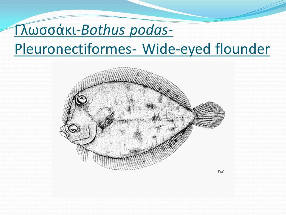 Γλωσσάκι-Bothus podas- Pleuronectiformes- Wide-eyed flounder