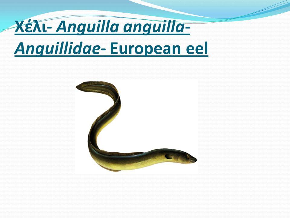 Χέλι- Anguilla anguilla- Anguillidae- European eel