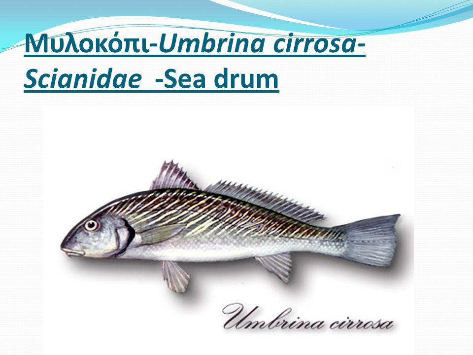 Μυλοκόπι-Umbrina cirrosa- Scianidae -Sea drum