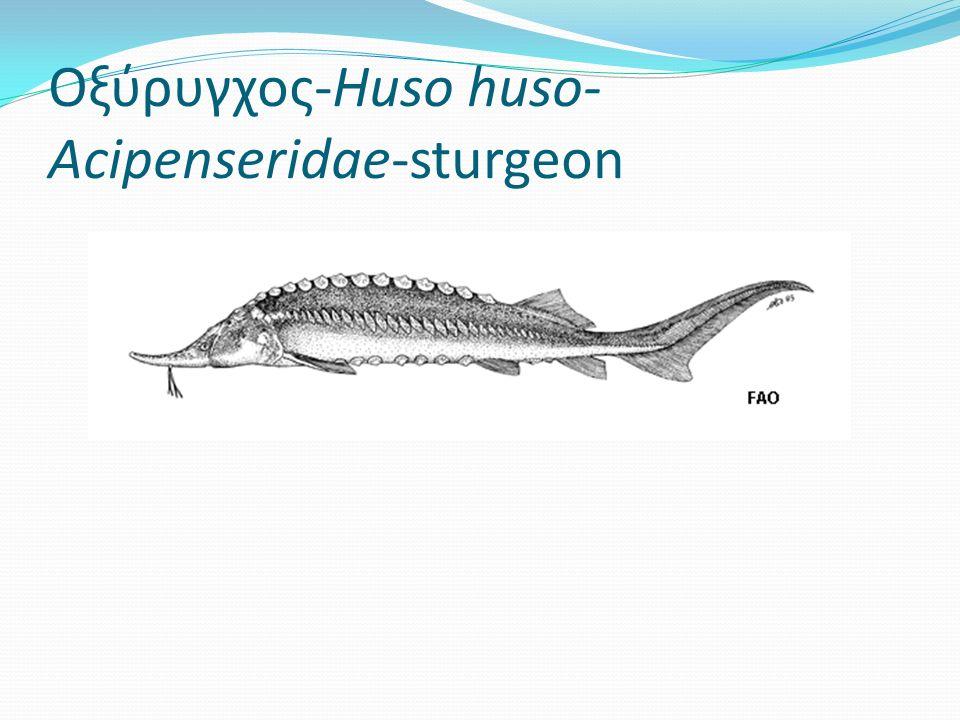 Οξύρυγχος-Huso huso- Acipenseridae-sturgeon
