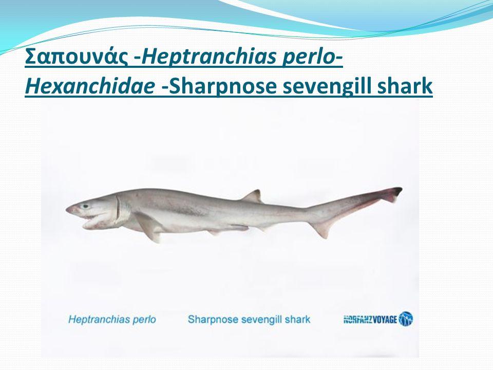 Σαπουνάς -Heptranchias perlo- Hexanchidae -Sharpnose sevengill shark