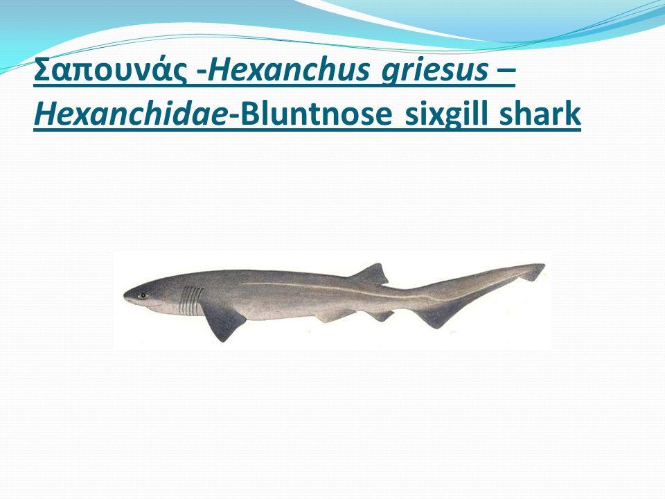 Σαπουνάς -Hexanchus griesus – Hexanchidae-Bluntnose sixgill shark