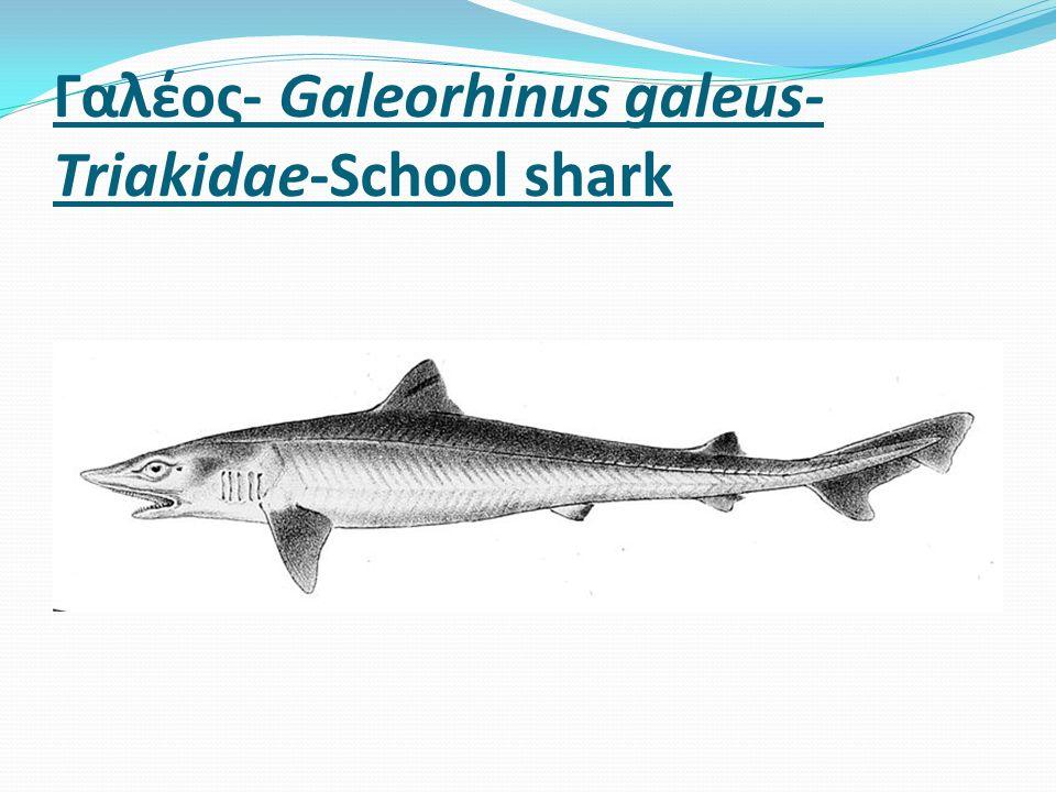 Γαλέος- Galeorhinus galeus- Triakidae-School shark