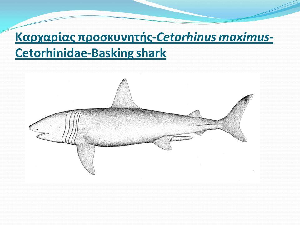Καρχαρίας προσκυνητής-Cetorhinus maximus- Cetorhinidae-Basking shark