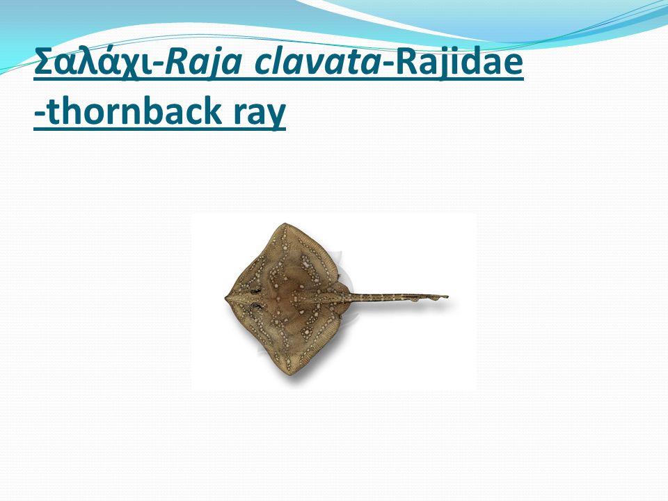 Σαλάχι-Raja clavata-Rajidae -thornback ray
