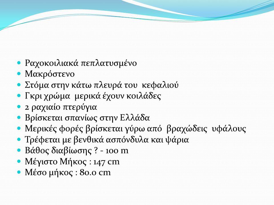 Ραχοκοιλιακά πεπλατυσμένο Μακρόστενο Στόμα στην κάτω πλευρά του κεφαλιού Γκρι χρώμα μερικά έχουν κοιλάδες 2 ραχιαίο πτερύγια Βρίσκεται σπανίως στην Ελλάδα Μερικές φορές βρίσκεται γύρω από βραχώδεις υφάλους Τρέφεται με βενθικά ασπόνδυλα και ψάρια Βάθος διαβίωσης .