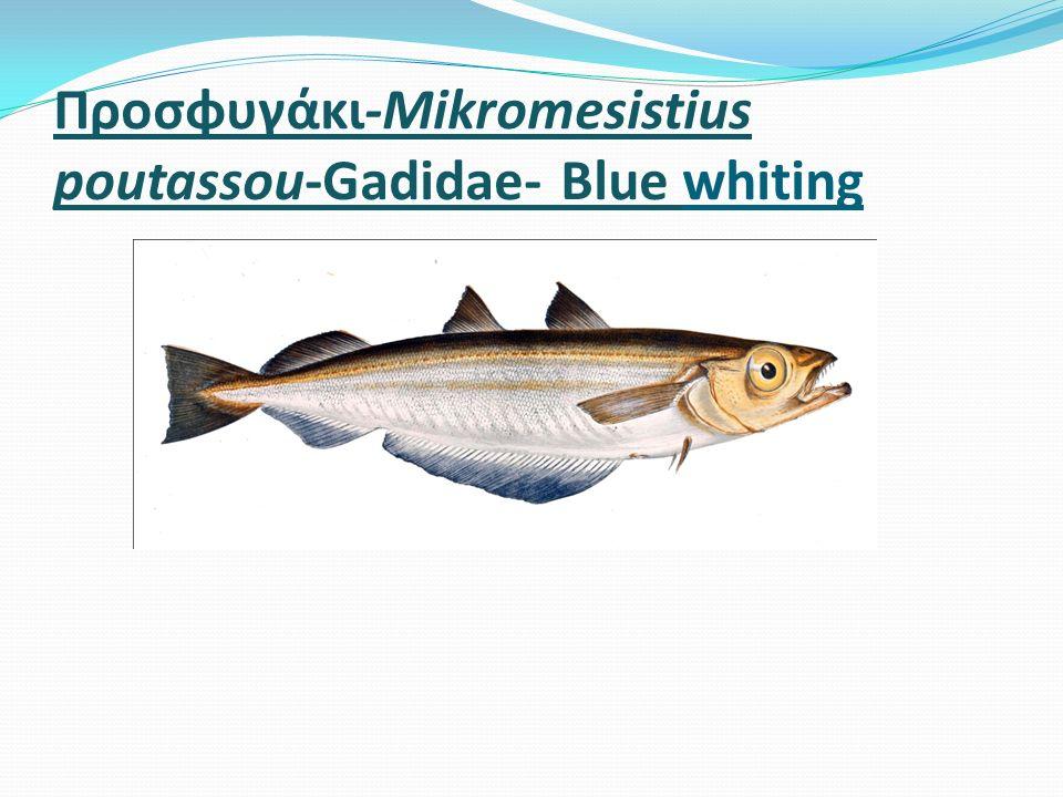 Προσφυγάκι-Mikromesistius poutassou-Gadidae- Blue whiting