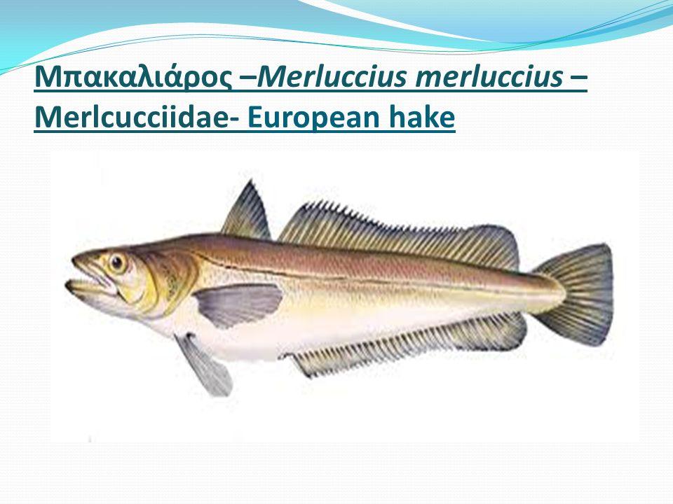 Μπακαλιάρος –Merluccius merluccius – Merlcucciidae- European hake