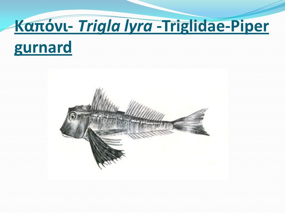 Καπόνι- Τrigla lyra -Triglidae-Piper gurnard