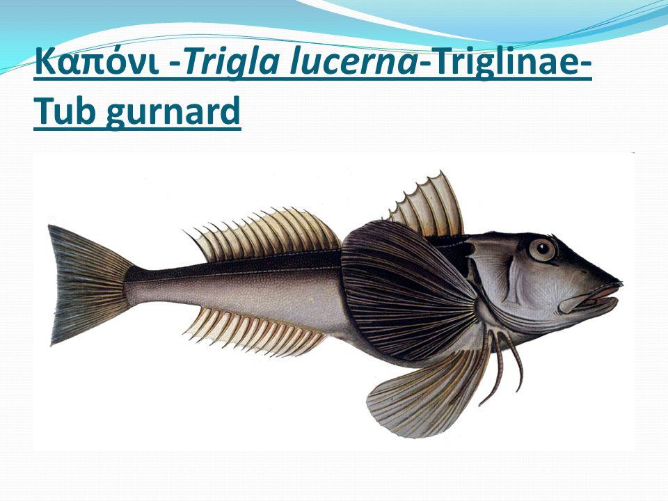 Καπόνι -Trigla lucerna-Triglinae- Tub gurnard