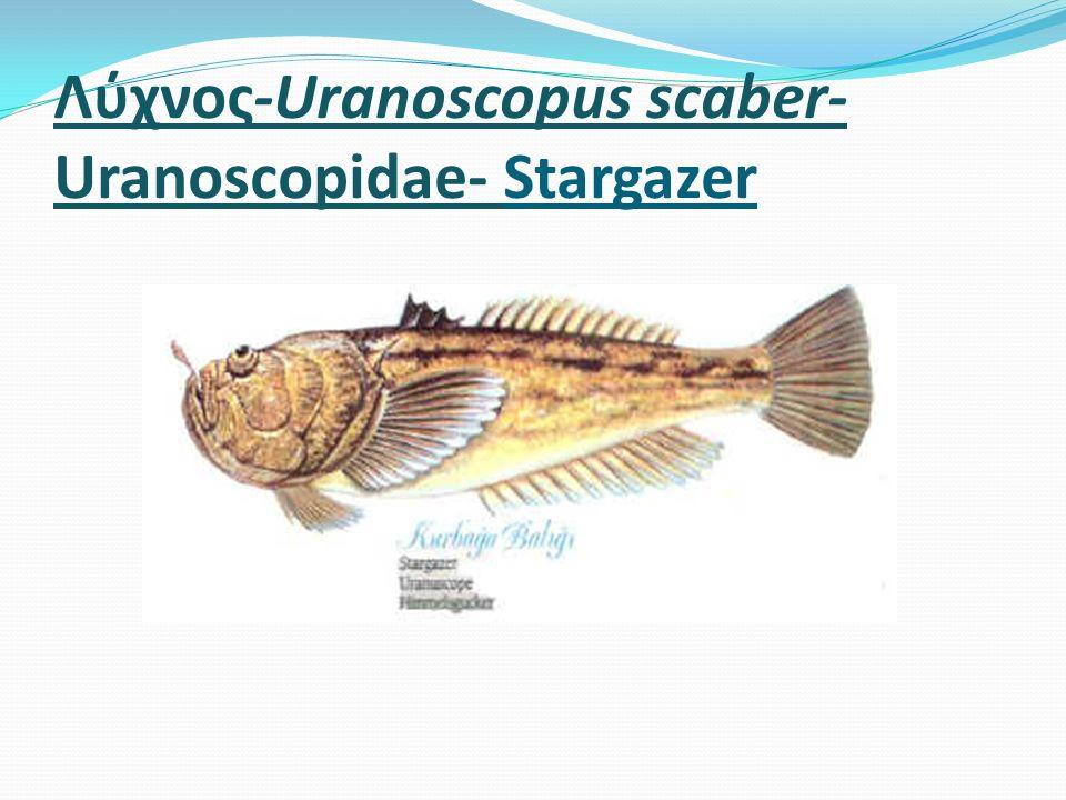 Λύχνος-Uranoscopus scaber- Uranoscopidae- Stargazer