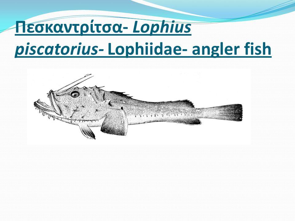 Πεσκαντρίτσα- Lophius piscatorius- Lophiidae- angler fish