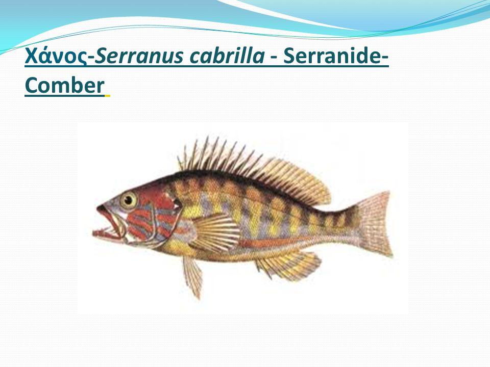 Χάνος-Serranus cabrilla - Serranide- Comber