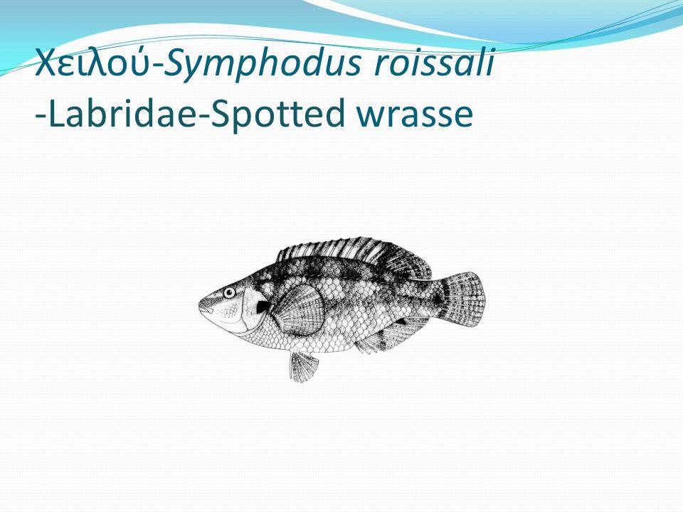 Χειλού-Symphodus roissali -Labridae-Spotted wrasse