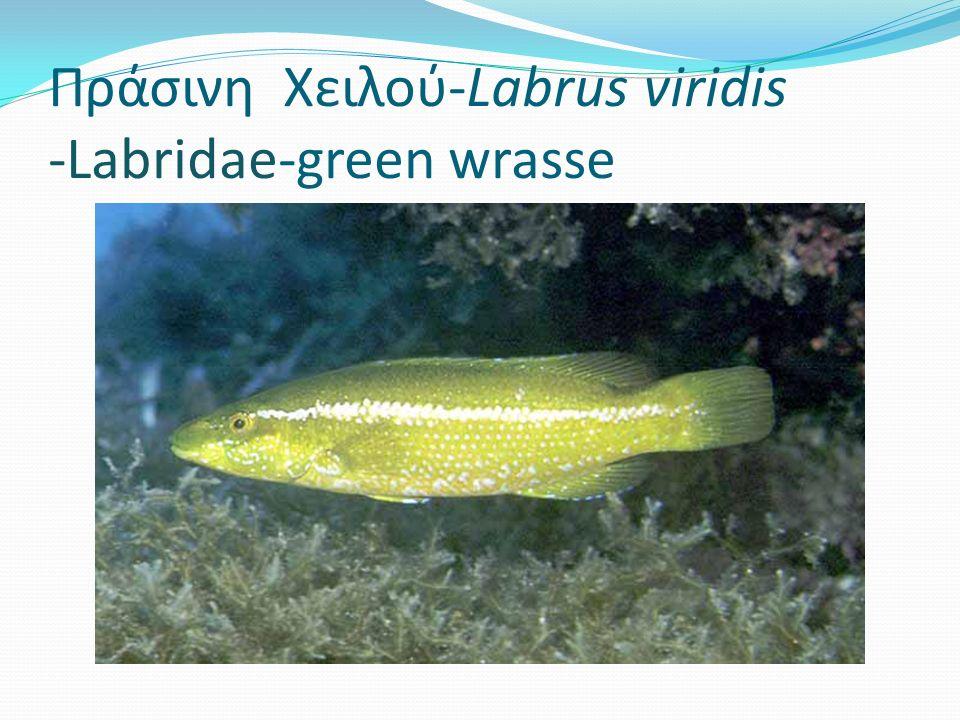 Πράσινη Χειλού-Labrus viridis -Labridae-green wrasse