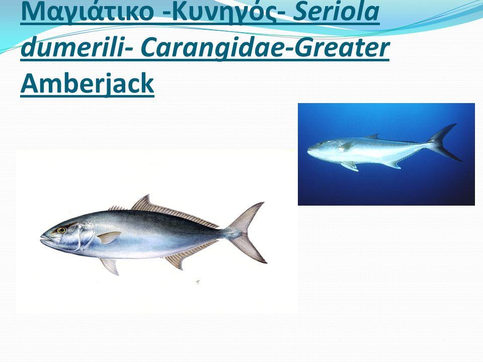 Μαγιάτικο -Κυνηγός- Seriola dumerili- Carangidae-Greater Amberjack