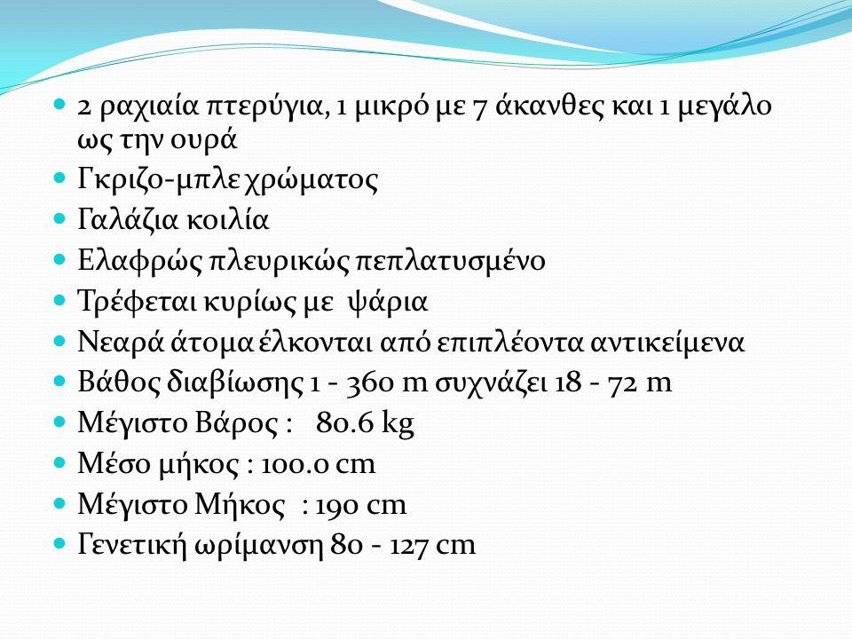 2 ραχιαία πτερύγια, 1 μικρό με 7 άκανθες και 1 μεγάλο ως την ουρά Γκριζο-μπλε χρώματος Γαλάζια κοιλία Ελαφρώς πλευρικώς πεπλατυσμένο Τρέφεται κυρίως με ψάρια Νεαρά άτομα έλκονται από επιπλέοντα αντικείμενα Βάθος διαβίωσης 1 - 360 m συχνάζει 18 - 72 m Μέγιστο Βάρος : 80.6 kg Μέσο μήκος : 100.0 cm Μέγιστο Μήκος : 190 cm Γενετική ωρίμανση 80 - 127 cm