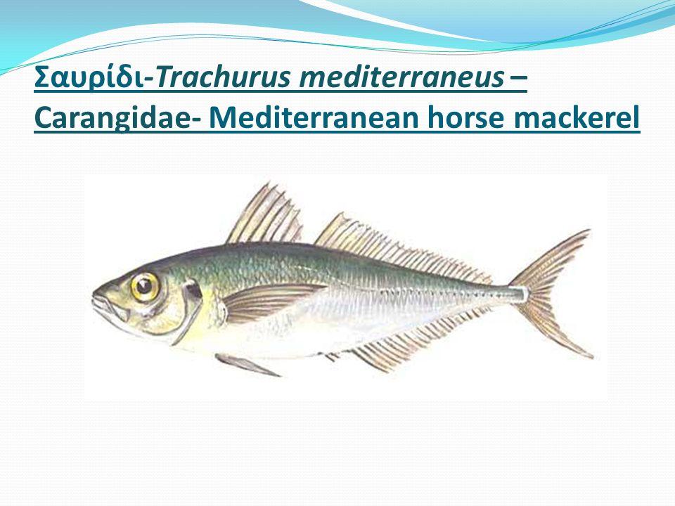 Σαυρίδι-Trachurus mediterraneus – Carangidae- Mediterranean horse mackerel