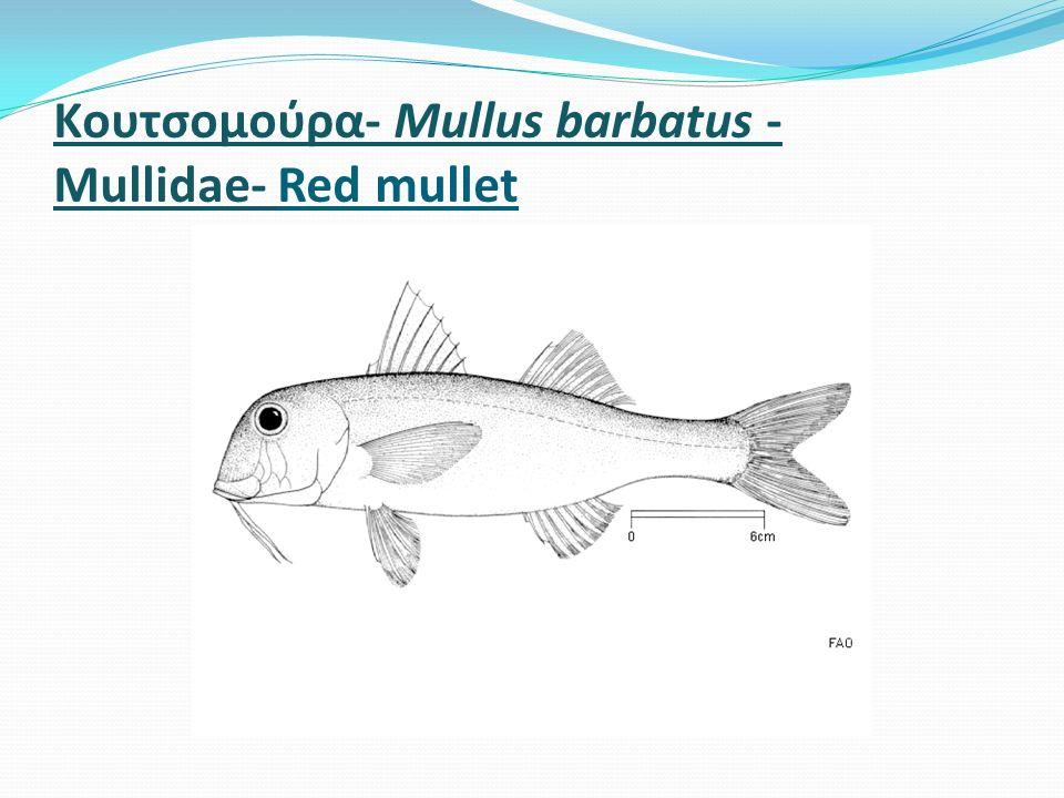 Kουτσομούρα- Mullus barbatus - Mullidae- Red mullet
