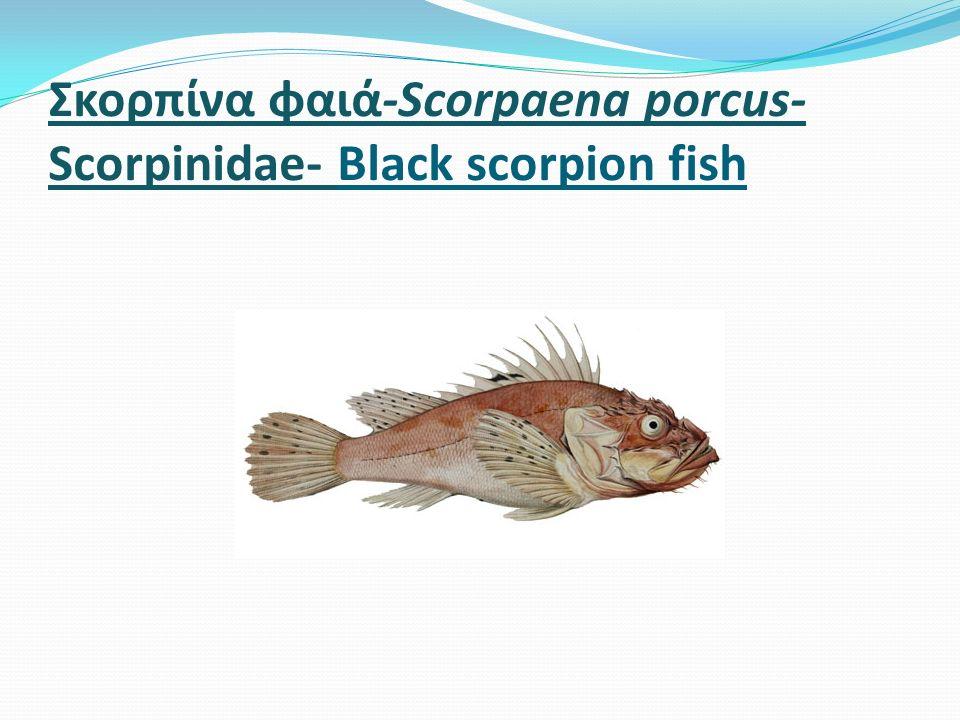 Σκορπίνα φαιά-Scorpaena porcus- Scorpinidae- Black scorpion fish