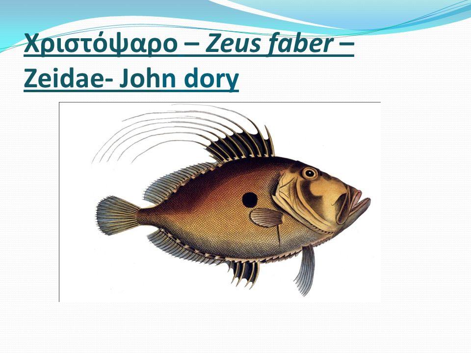 Χριστόψαρο – Zeus faber – Zeidae- John dory