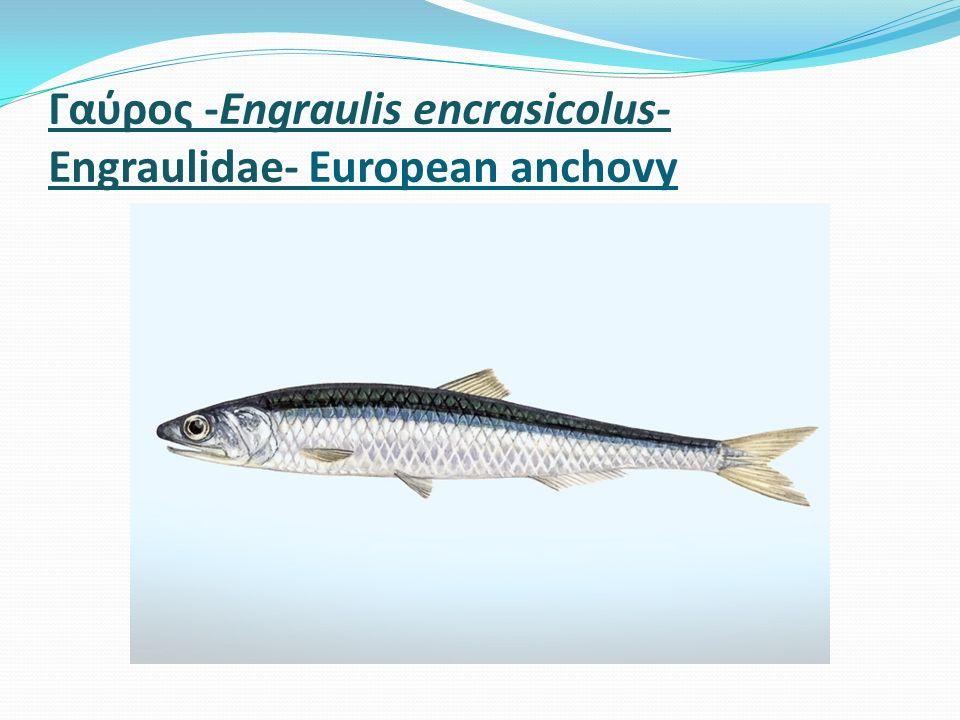 Γαύρος -Engraulis encrasicolus- Engraulidae- European anchovy