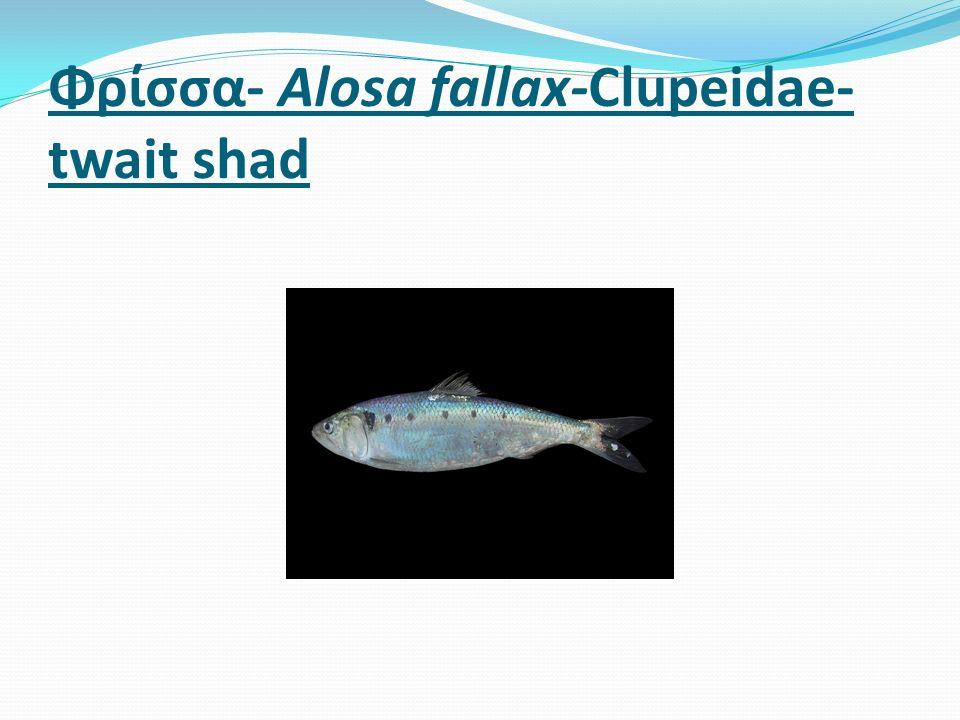 Φρίσσα- Alosa fallax-Clupeidae- twait shad