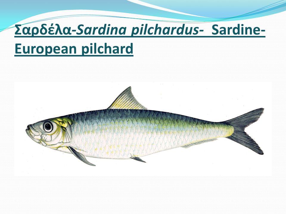 Σαρδέλα-Sardina pilchardus- Sardine- European pilchard