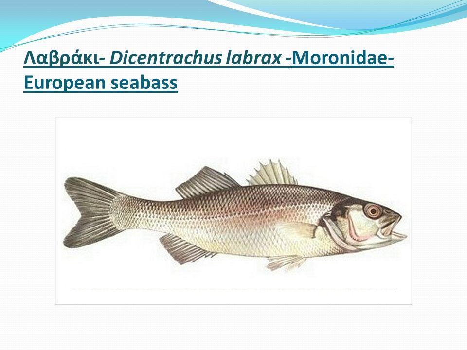 Λαβράκι- Dicentrachus labrax -Moronidae- European seabass