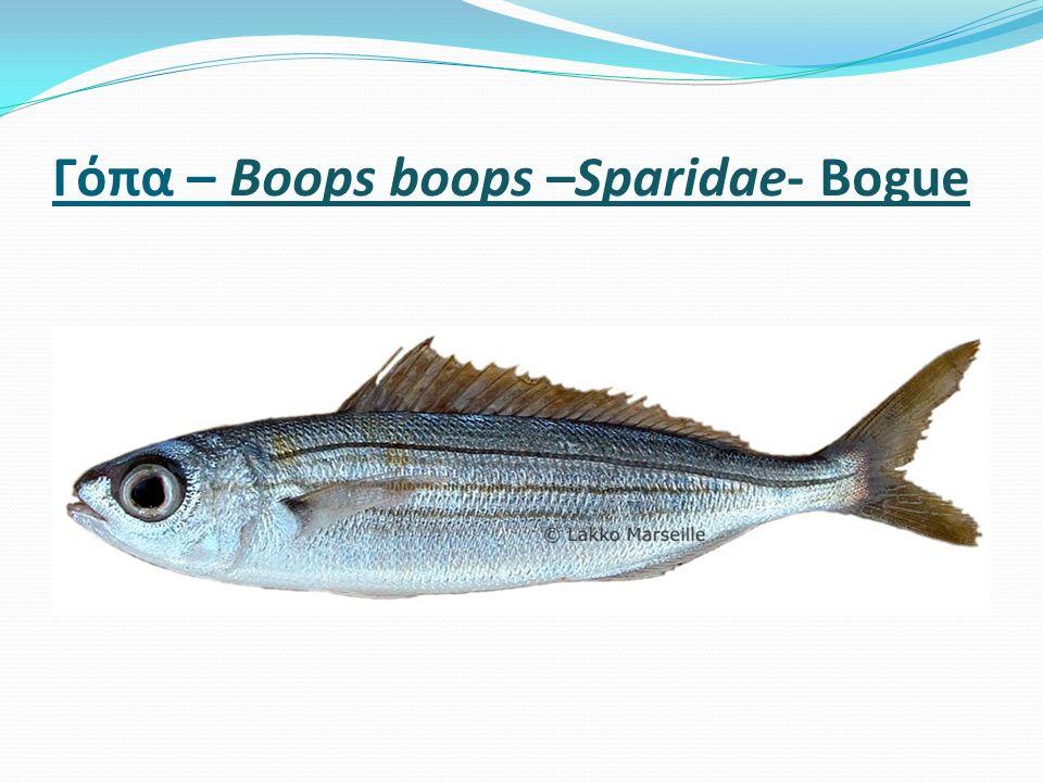 Γόπα – Boοps boops –Sparidae- Bogue