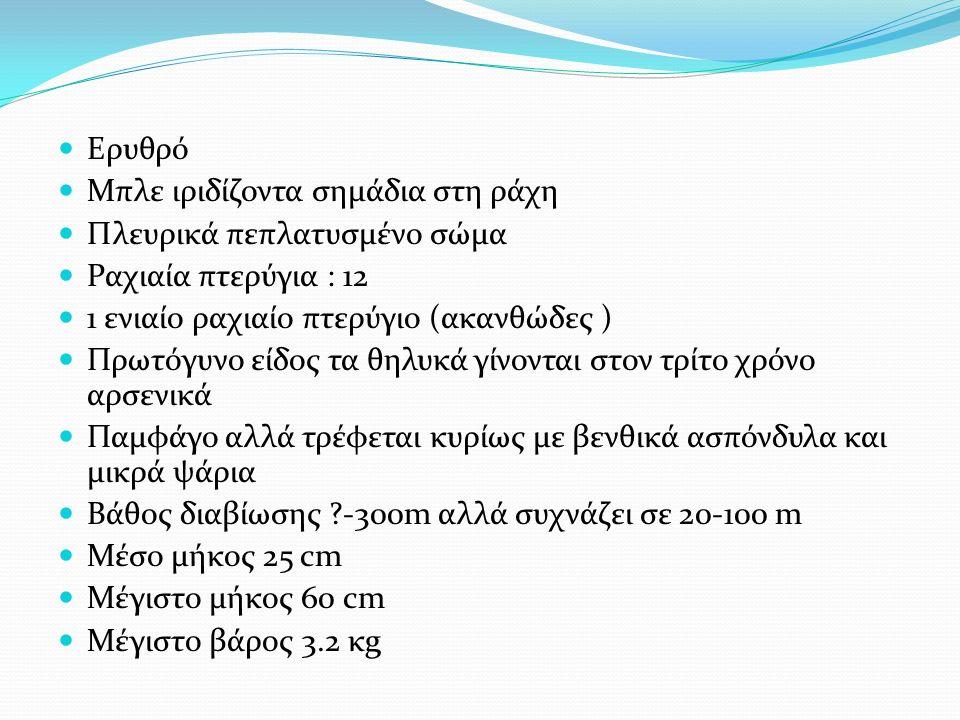 Ερυθρό Μπλε ιριδίζοντα σημάδια στη ράχη Πλευρικά πεπλατυσμένο σώμα Ραχιαία πτερύγια : 12 1 ενιαίο ραχιαίο πτερύγιο (ακανθώδες ) Πρωτόγυνο είδος τα θηλυκά γίνονται στον τρίτο χρόνο αρσενικά Παμφάγο αλλά τρέφεται κυρίως με βενθικά ασπόνδυλα και μικρά ψάρια Βάθος διαβίωσης -300m αλλά συχνάζει σε 20-100 m Μέσο μήκος 25 cm Μέγιστο μήκος 60 cm Μέγιστο βάρος 3.2 κg