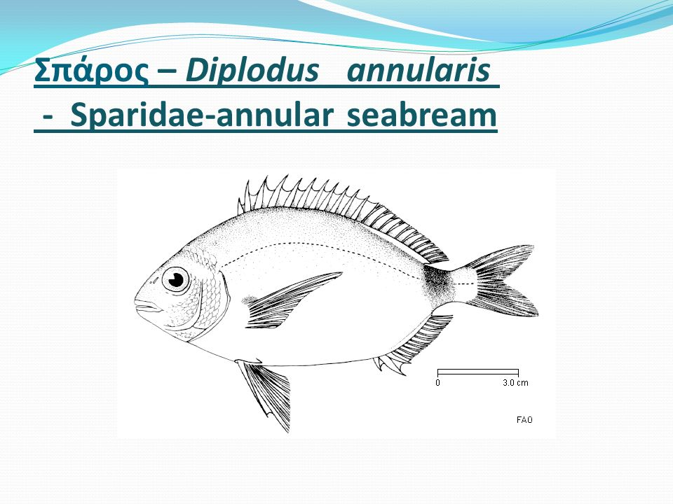 Σπάρος – Diplodus annularis - Sparidae-annular seabream