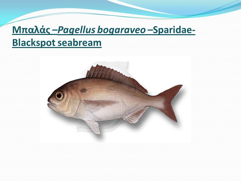 Μπαλάς –Pagellus bogaraveo –Sparidae- Blackspot seabream