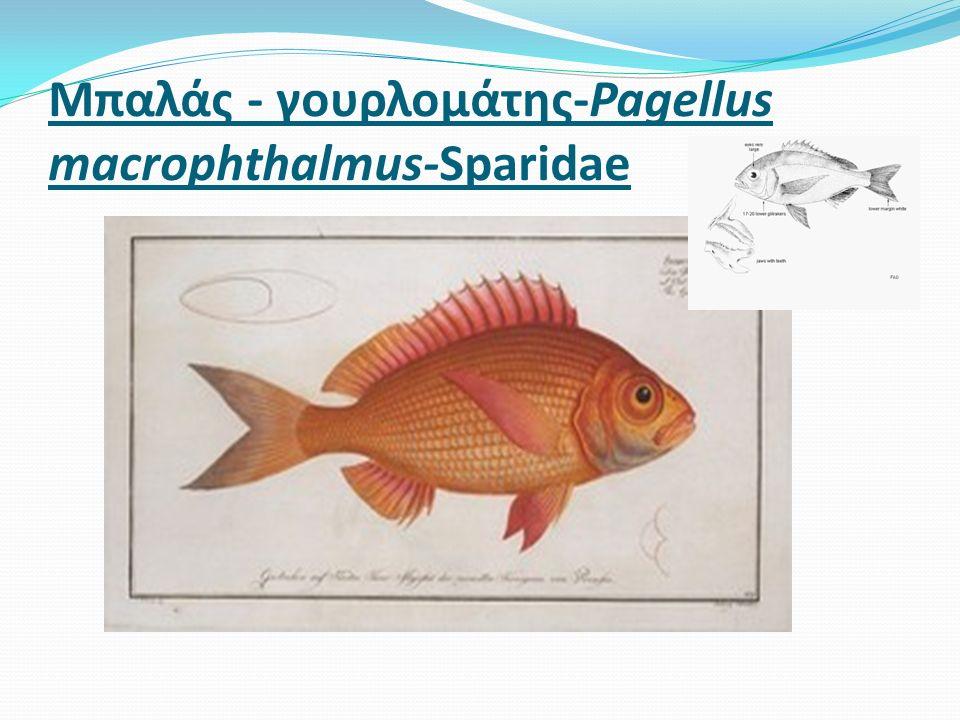 Μπαλάς - γουρλομάτης-Pagellus macrophthalmus-Sparidae