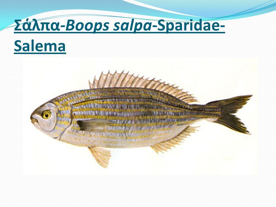 Σάλπα-Boops salpa-Sparidae- Salema