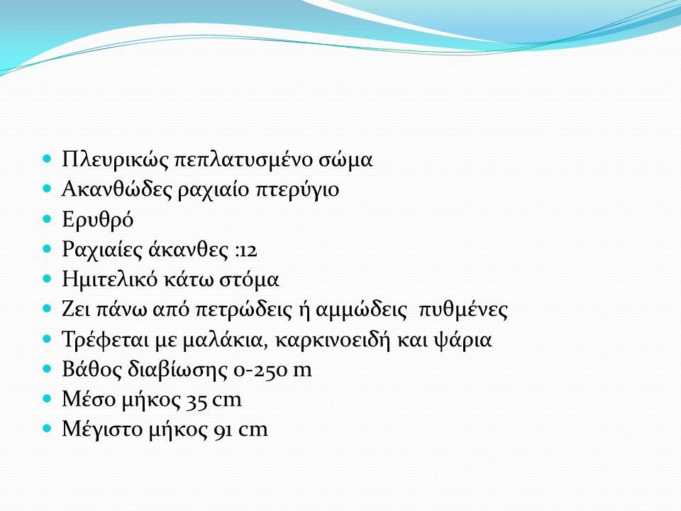 Πλευρικώς πεπλατυσμένο σώμα Ακανθώδες ραχιαίο πτερύγιο Ερυθρό Ραχιαίες άκανθες :12 Ημιτελικό κάτω στόμα Ζει πάνω από πετρώδεις ή αμμώδεις πυθμένες Τρέφεται με μαλάκια, καρκινοειδή και ψάρια Βάθος διαβίωσης 0-250 m Μέσο μήκος 35 cm Μέγιστο μήκος 91 cm