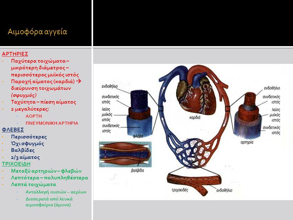 Αιμοφόρα αγγεία ΑΡΤΗΡΙΕΣ Παχύτερα τοιχώματα – μικρότερη διάμετρος – περισσότερος μυϊκός ιστός Παροχή αίματος (καρδιά)  διεύρυνση τοιχωμάτων (σφυγμός) Ταχύτητα – πίεση αίματος 2 μεγαλύτερες: ΑΟΡΤΗ ΠΝΕΥΜΟΝΙΚΗ ΑΡΤΗΡΙΑ ΦΛΕΒΕΣ Περισσότερες Όχι σφυγμός Βαλβίδες 2/3 αίματος ΤΡΙΧΟΕΙΔΗ Μεταξύ αρτηριών – φλεβών Λεπτότερα – πολυπληθέστερα Λεπτά τοιχώματα Ανταλλαγή ουσιών – αερίων Διαπερατά από λευκά αιμοσφαίρια (άμυνα)