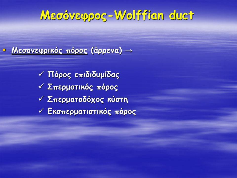 Μεσόνεφρος-Wolffian duct  Μεσονεφρικός πόρος (άρρενα) → Πόρος επιδιδυμίδας Πόρος επιδιδυμίδας Σπερματικός πόρος Σπερματικός πόρος Σπερματοδόχος κύστη