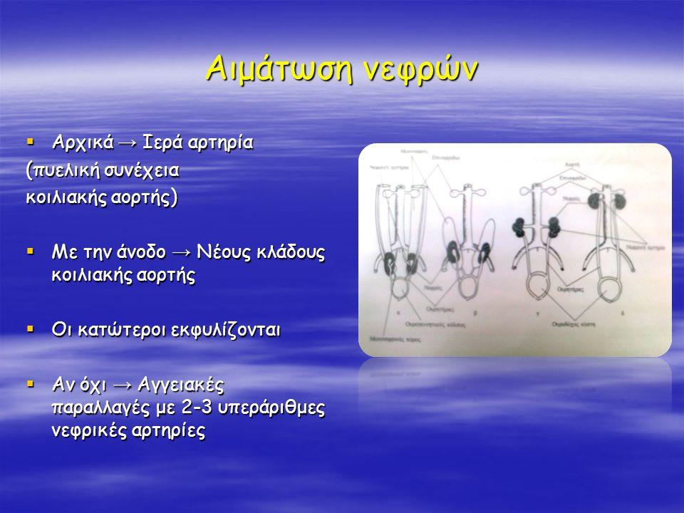 Αιμάτωση νεφρών  Αρχικά → Ιερά αρτηρία (πυελική συνέχεια κοιλιακής αορτής)  Με την άνοδο → Νέους κλάδους κοιλιακής αορτής  Οι κατώτεροι εκφυλίζοντα